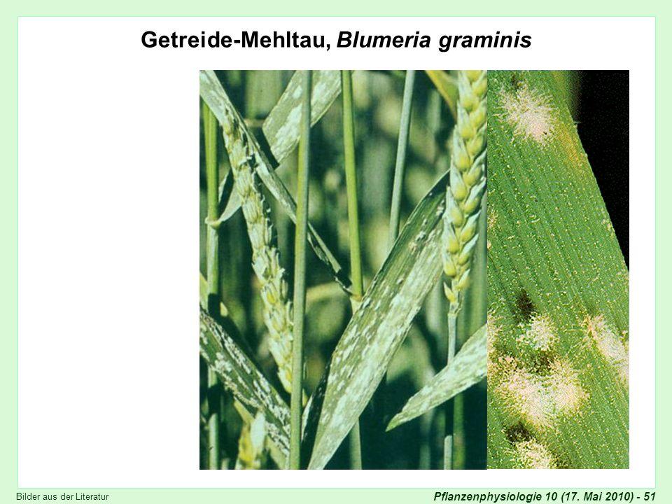 Getreide-Mehltau, Blumeria graminis