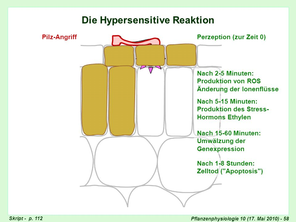 Die Hypersensitive Reaktion