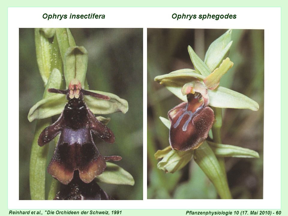 Ophrys insectifera Ophrys sphegodes