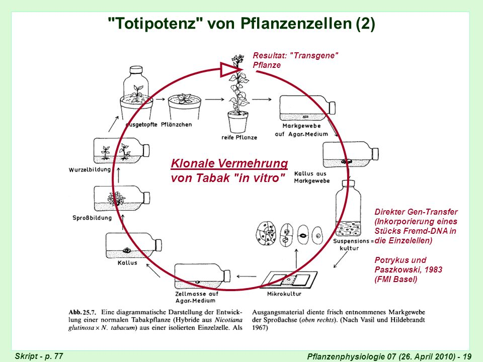 Totipotenz der Pflanzenzellen