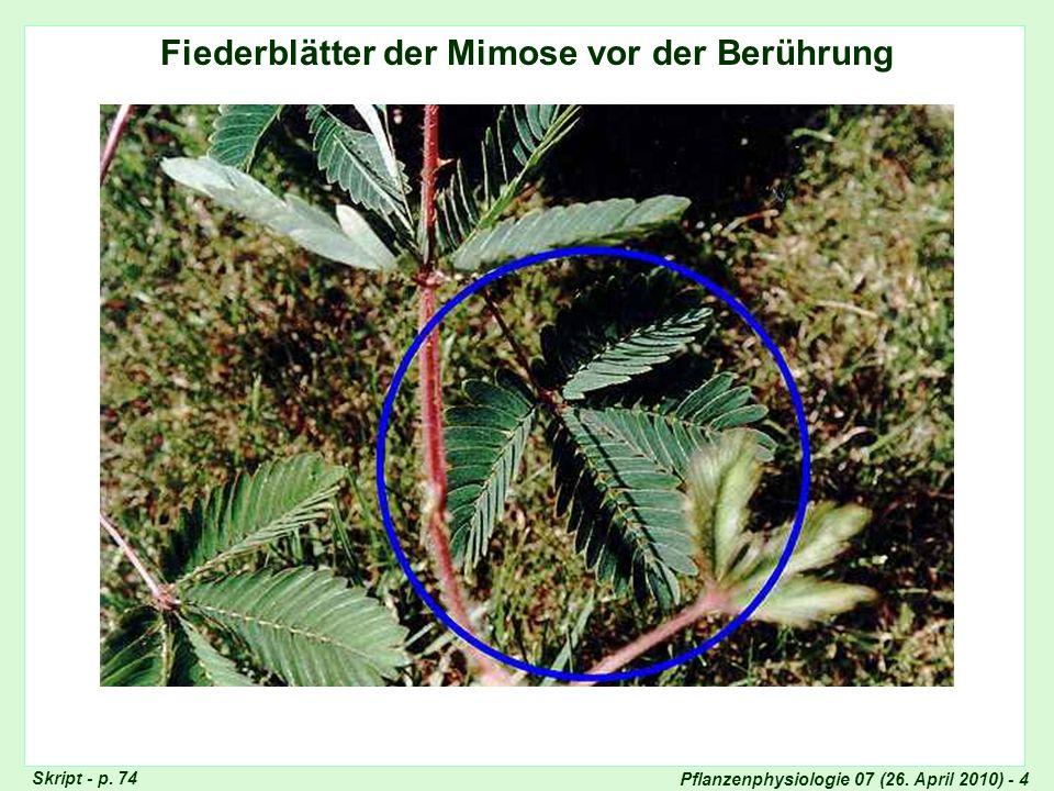 Fiederblätter der Mimose vor der Berührung