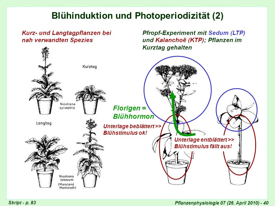 Blühinduktion, Photoperiode (2)