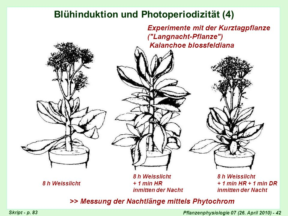 Blühinduktion, Photoperiode (4)