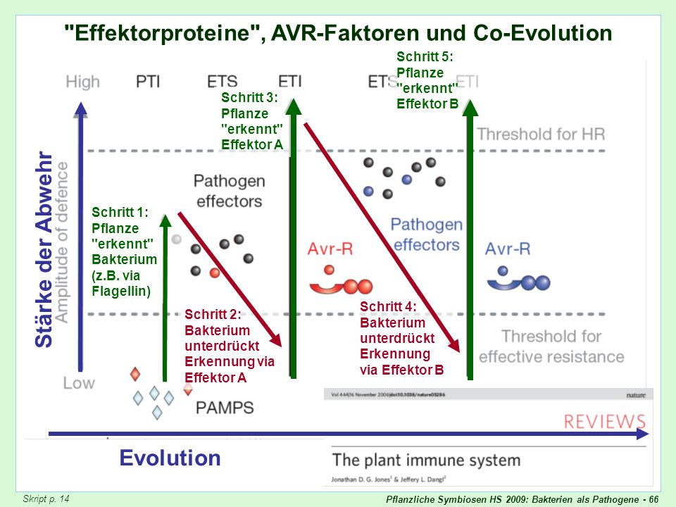 Effektorproteine , AVR-Faktoren und Co-Evolution