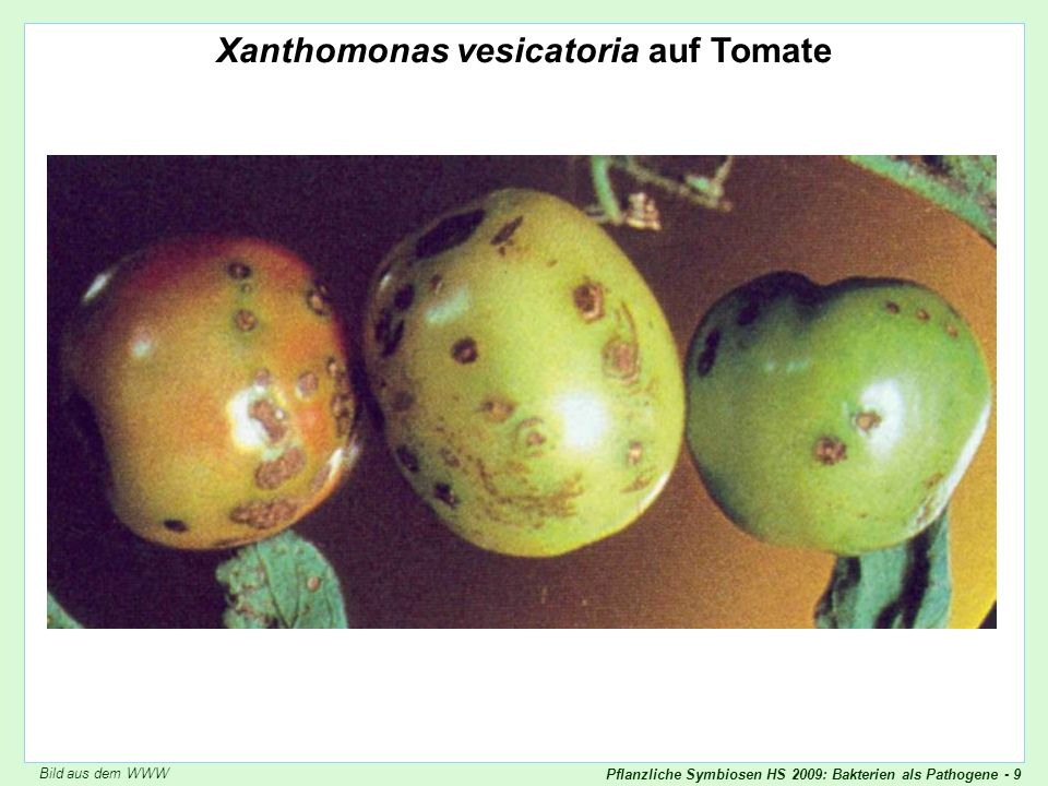 Xanthomonas vesicatoria