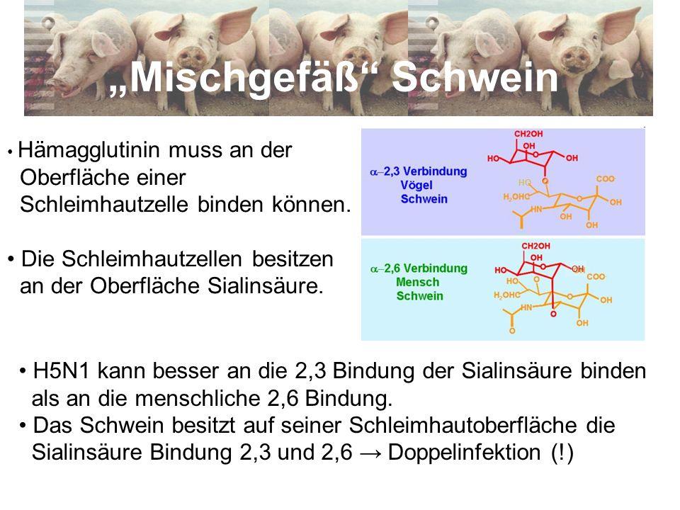"""""""Mischgefäß Schwein Oberfläche einer Schleimhautzelle binden können."""