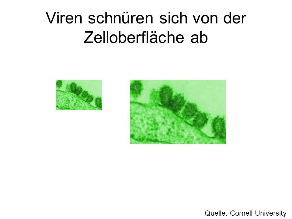 Viren schnüren sich von der Zelloberfläche ab