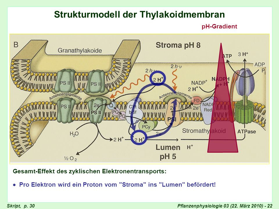 Strukturmodell der Thylakoid-Membran