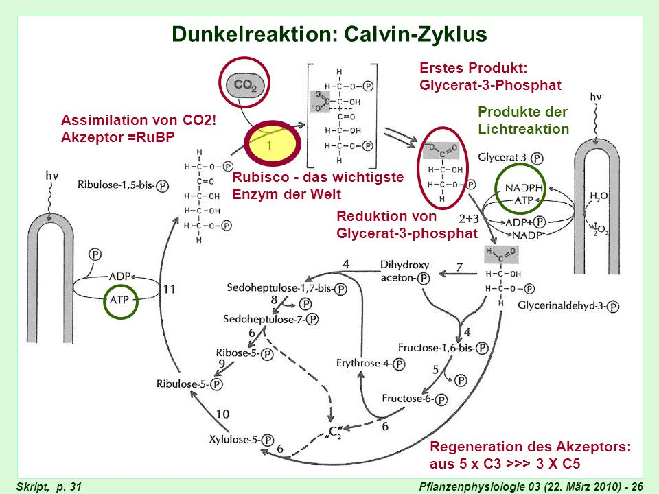 Dunkelreaktion: Calvin-Zyklus