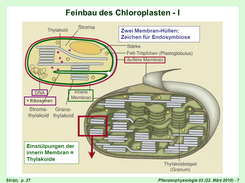 Feinbau des Chloroplasten - I