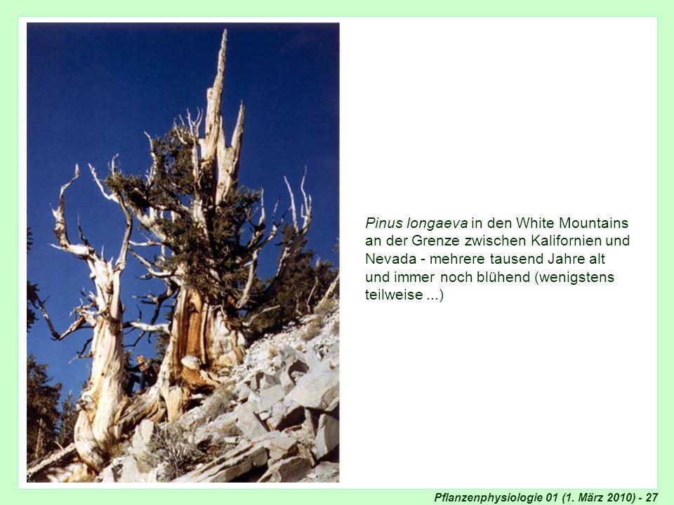 Pinus longaeva