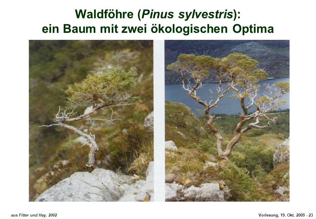 Waldföhre - zwei Optima 1