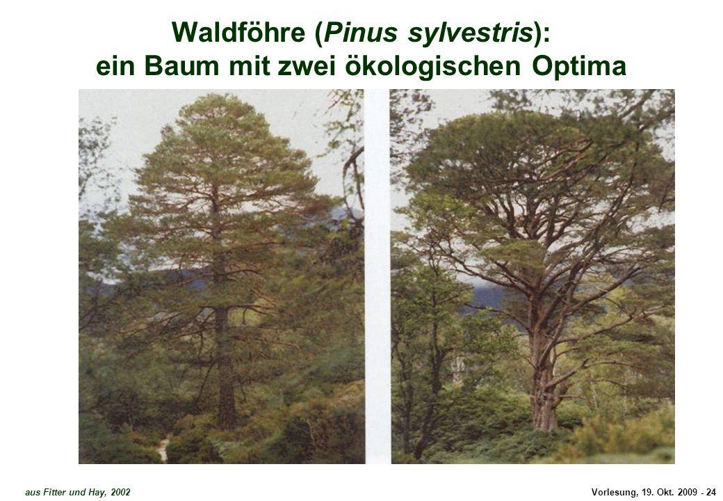 Waldföhre - zwei Optima 2