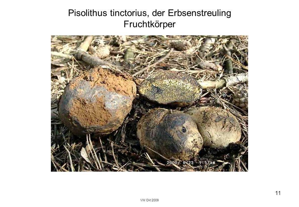 Pisolithus tinctorius, der Erbsenstreuling