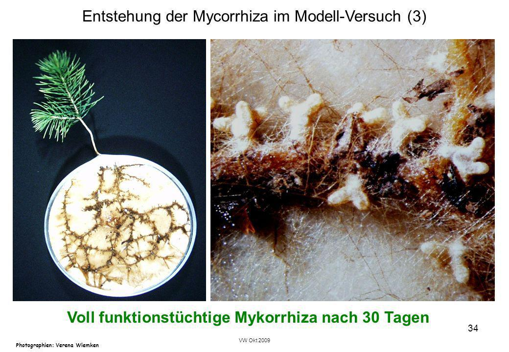 Voll funktionstüchtige Mykorrhiza nach 30 Tagen
