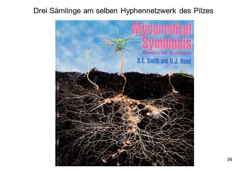 Drei Sämlinge am selben Hyphennetzwerk des Pilzes