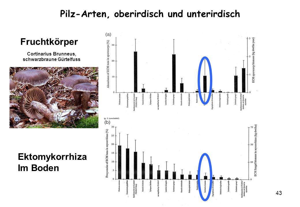 Pilz-Arten, oberirdisch und unterirdisch schwarzbraune Gürtelfuss