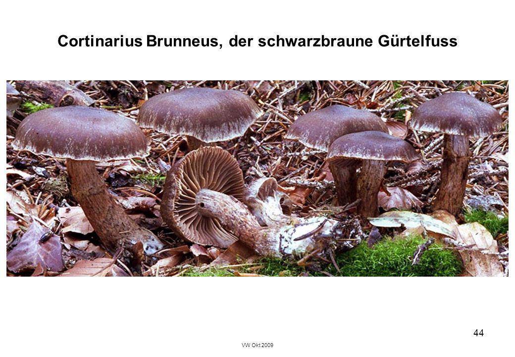 Cortinarius Brunneus, der schwarzbraune Gürtelfuss