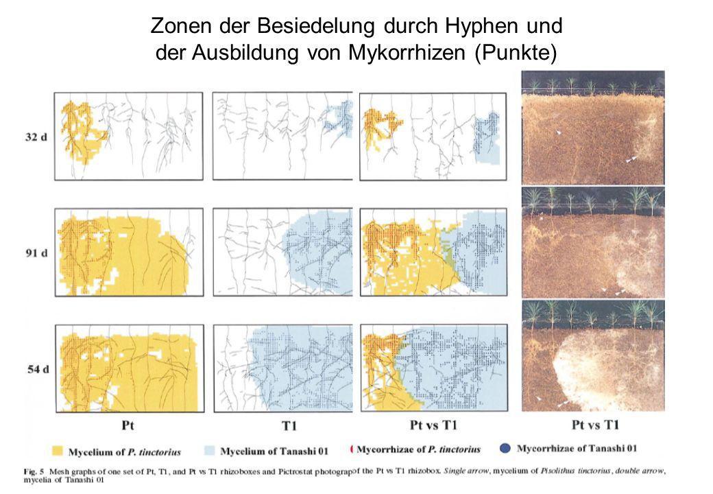 Zonen der Besiedelung durch Hyphen und