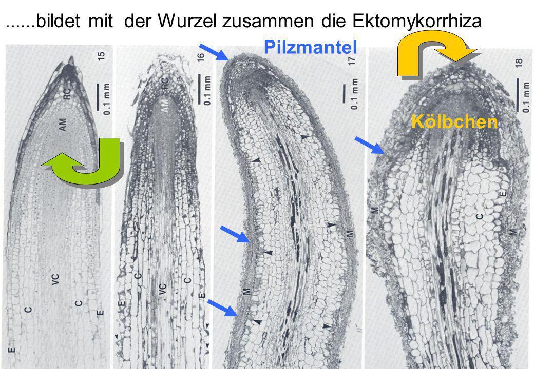......bildet mit der Wurzel zusammen die Ektomykorrhiza Pilzmantel