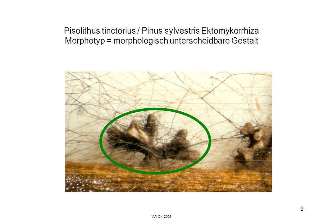 Pisolithus tinctorius / Pinus sylvestris Ektomykorrhiza