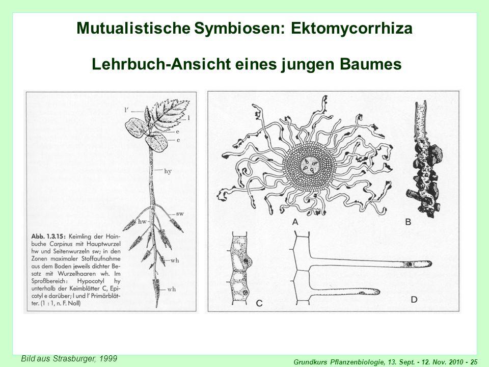 Ektomykorrhiza: Lehrbuch-Ansicht
