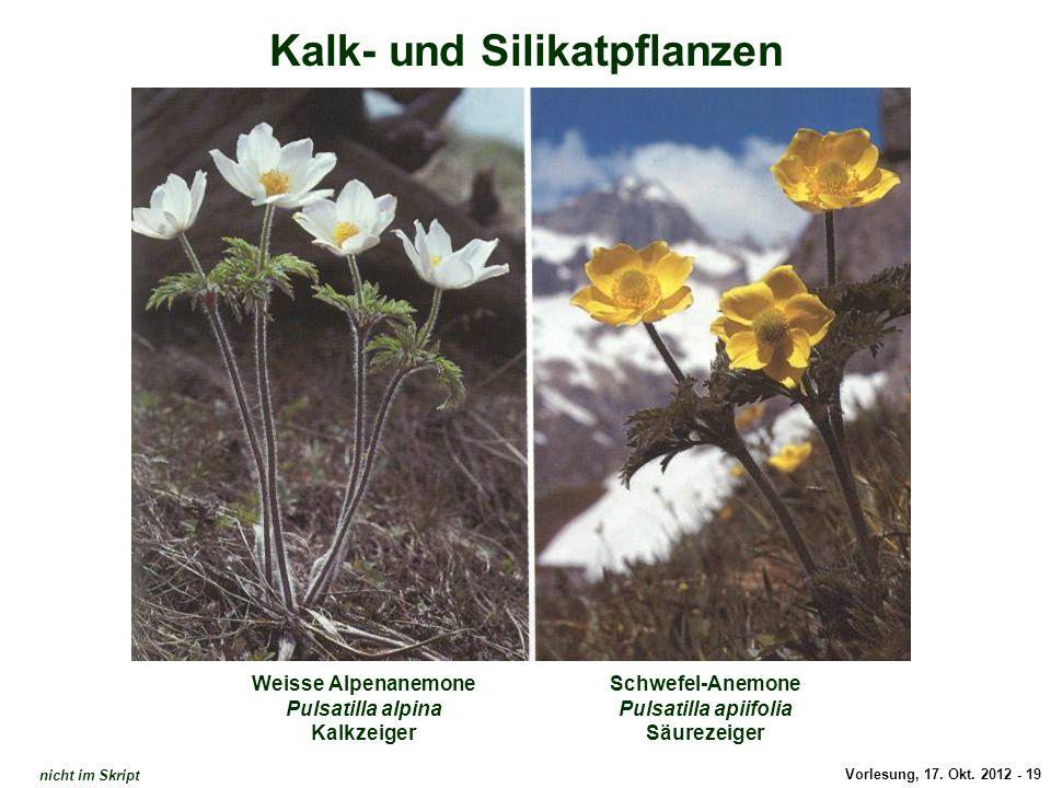 Anemonen / Kalk- und Silikat