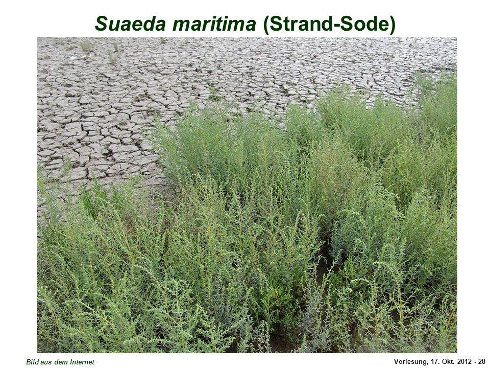 Suaeda maritima (Strand-Sode)