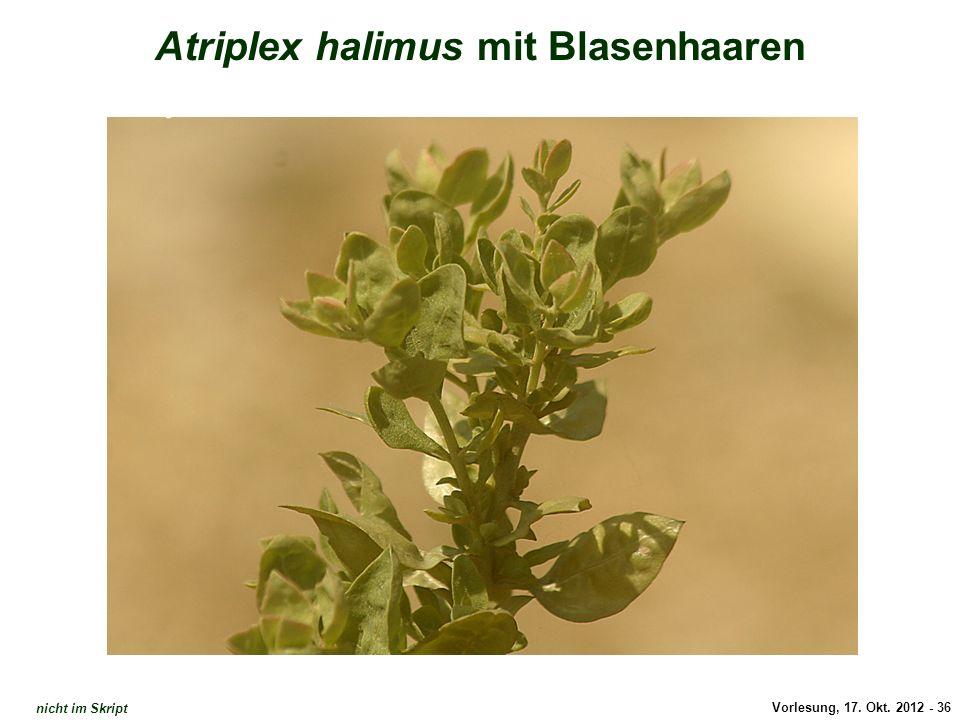 Atriplex halimus mit Blasenhaaren