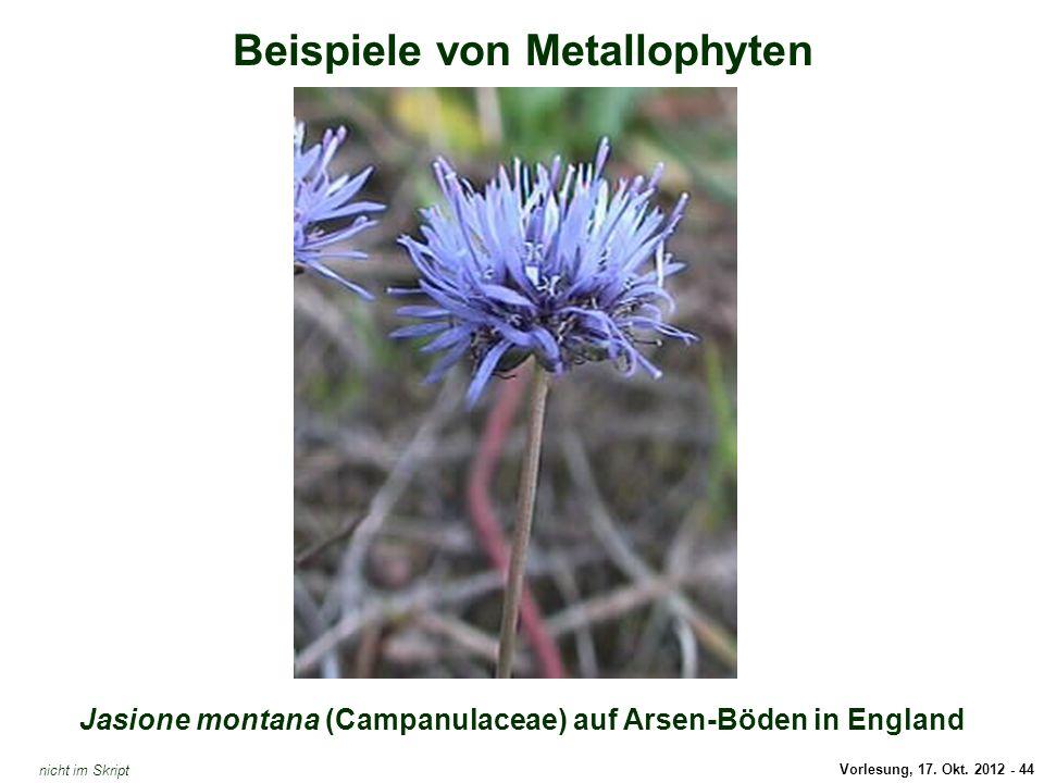 Jasione montana (Arsen-Hyperakkumulator)