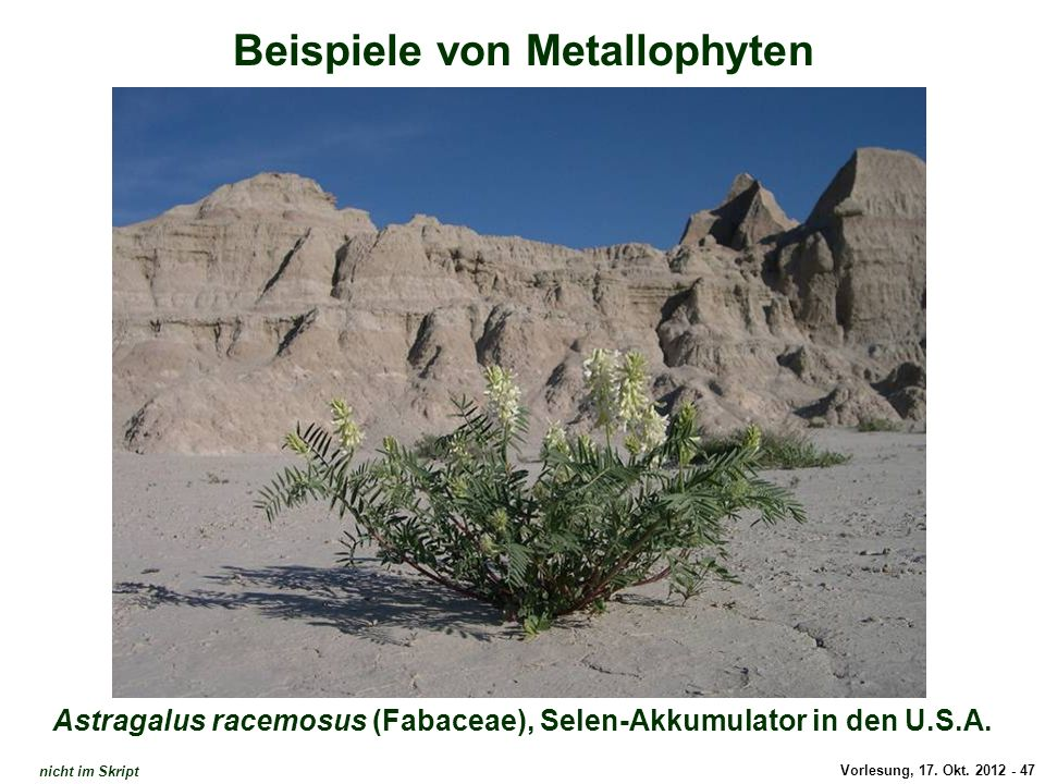 Astragalus racemosus (Selen-Hyperakkumulator)