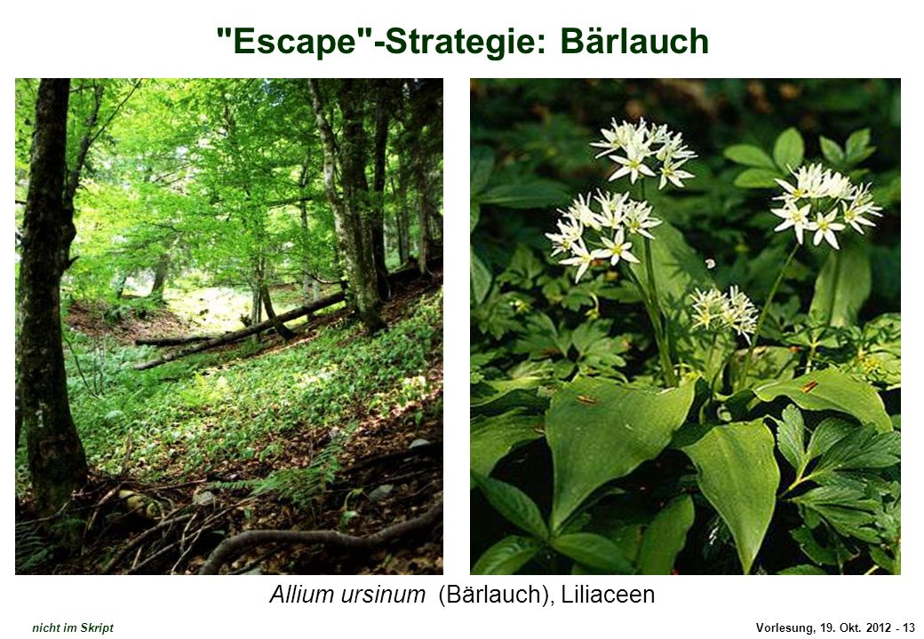 Escape-Strategie: Bärlauch