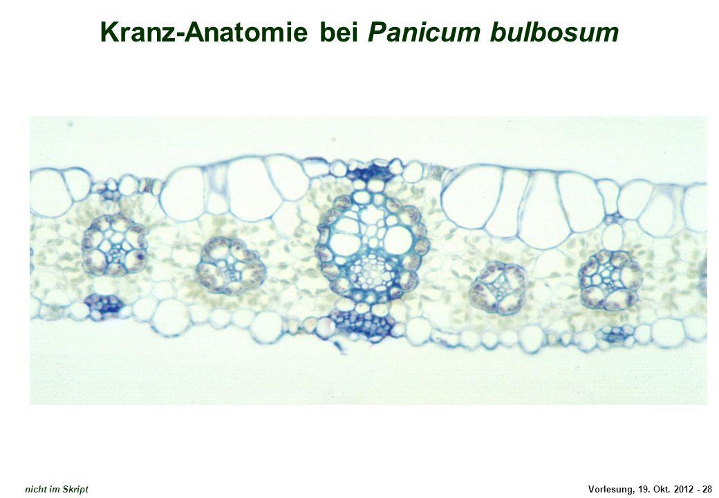 Dünnschnitt Kranz-Anatomie 1