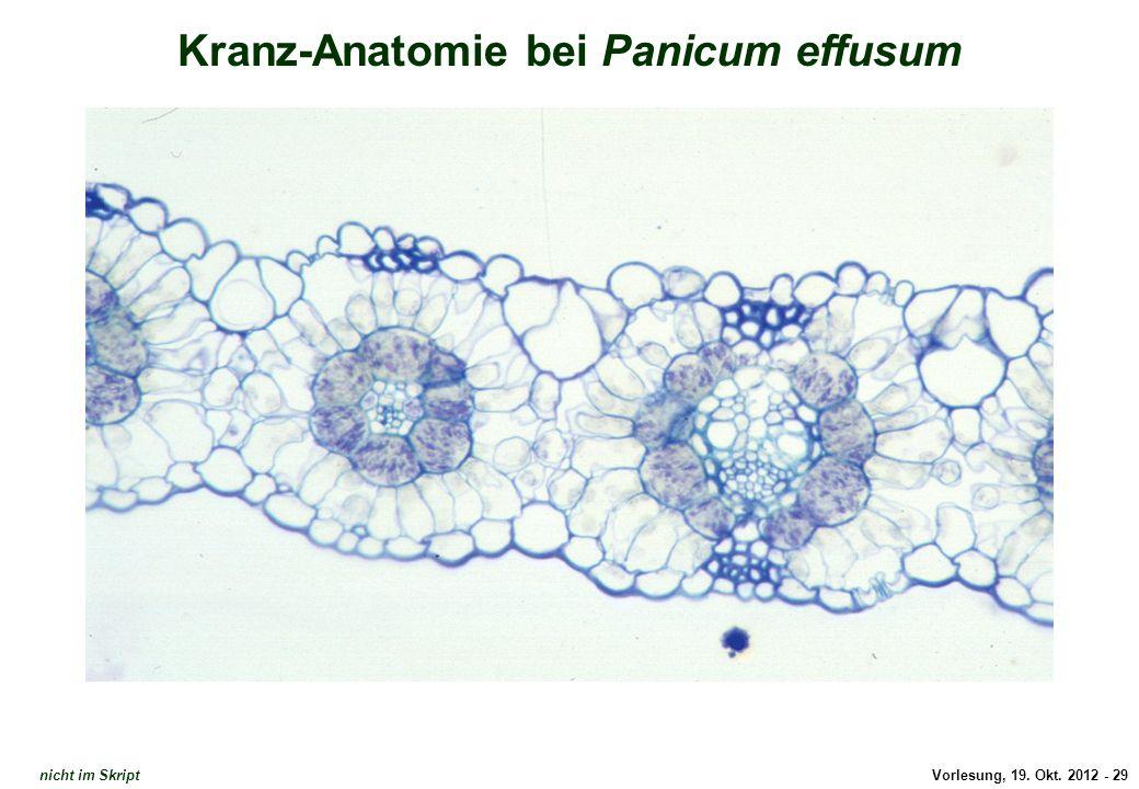 Dünnschnitt Kranz-Anatomie 2
