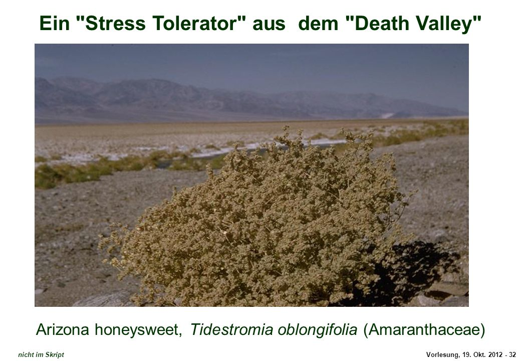 Tidestromia oblongifolia