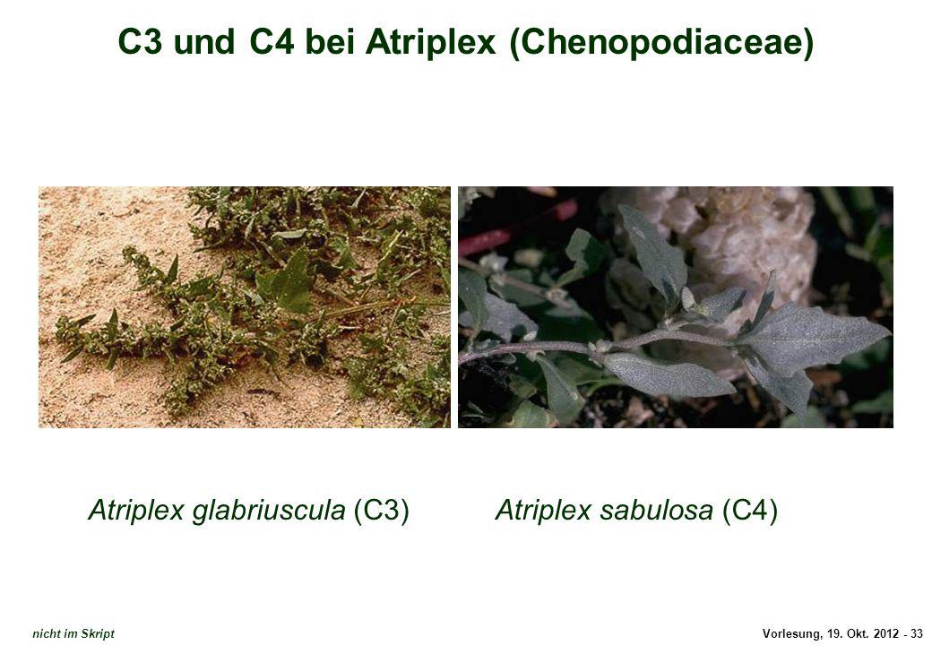 C3 und C4 bei Atriplex (Chenopodiaceae)