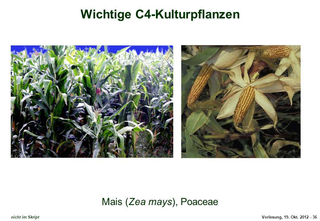 Wichtige C4-Kulturpflanzen