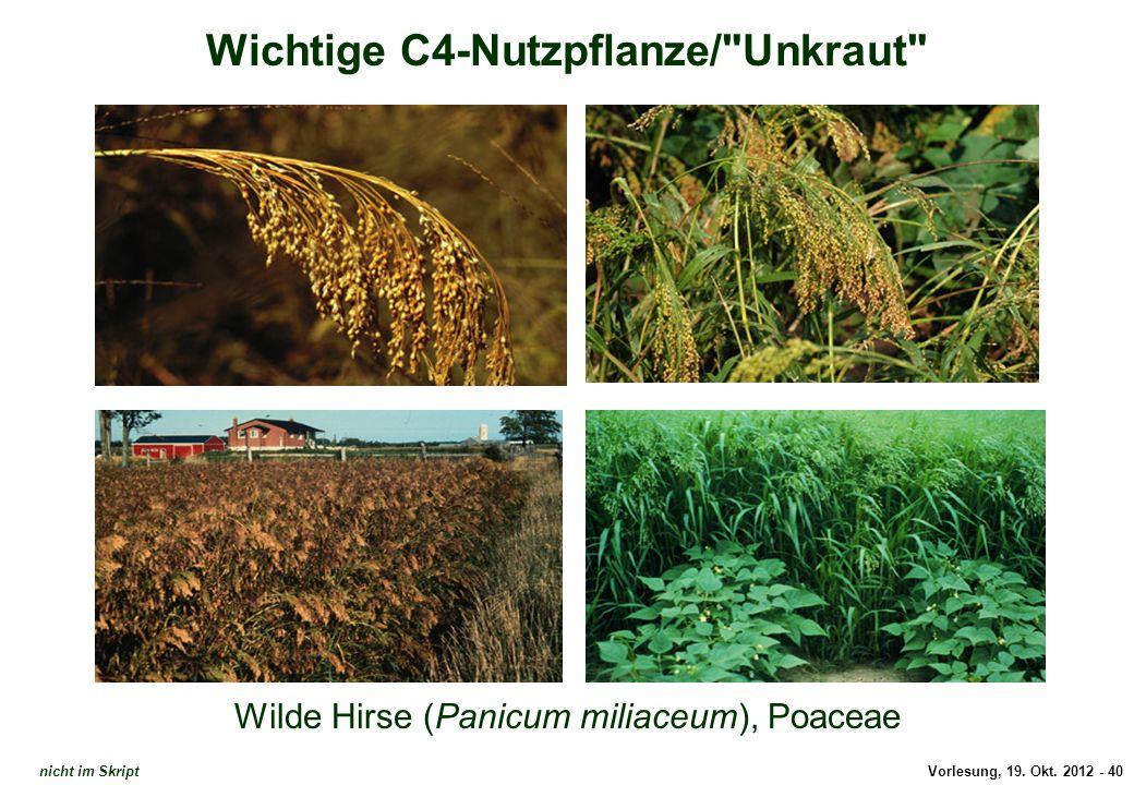 Wichtige C4-Nutzpflanze/ Unkraut