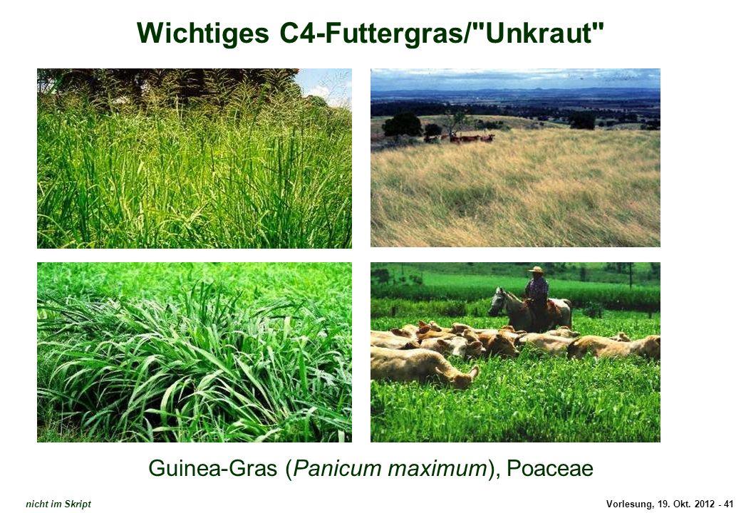 Wichtiges C4-Futtergras/ Unkraut
