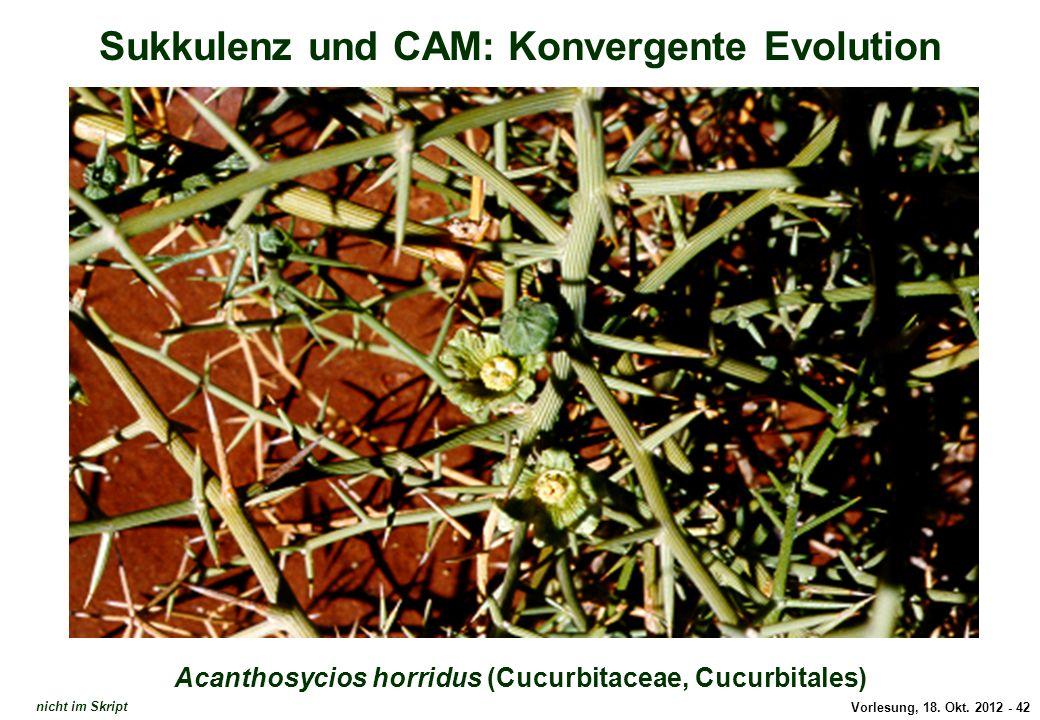 Acanthosycios horridus