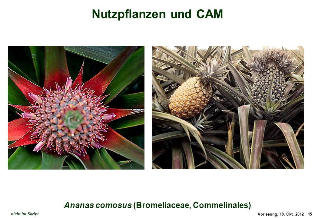 Ananas comosus (Bromeliaceae, Commelinales)