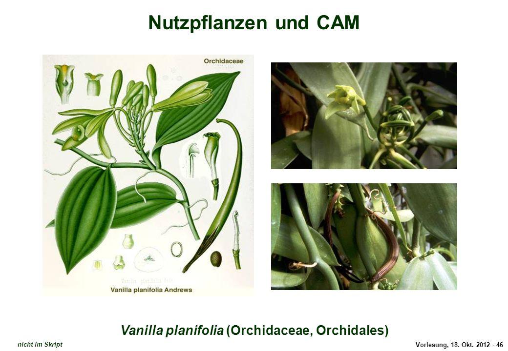 Vanilla planifolia (Orchidaceae, Orchidales)
