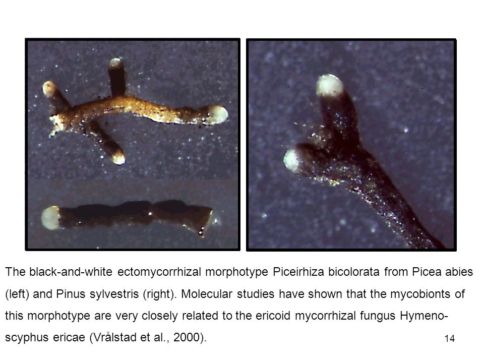 The black-and-white ectomycorrhizal morphotype Piceirhiza bicolorata from Picea abies (left) and Pinus sylvestris (right).