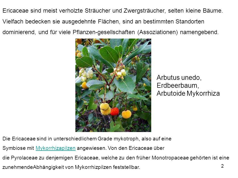 Arbutus unedo, Erdbeerbaum, Arbutoide Mykorrhiza