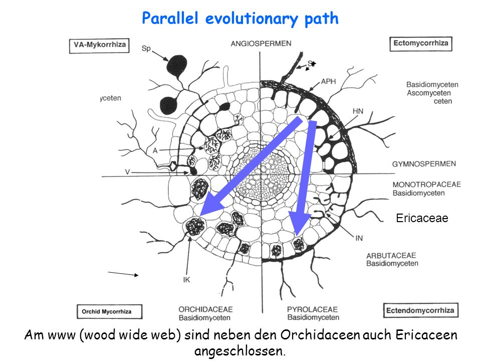 Parallel evolutionary path