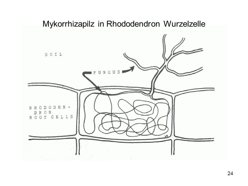 Mykorrhizapilz in Rhododendron Wurzelzelle