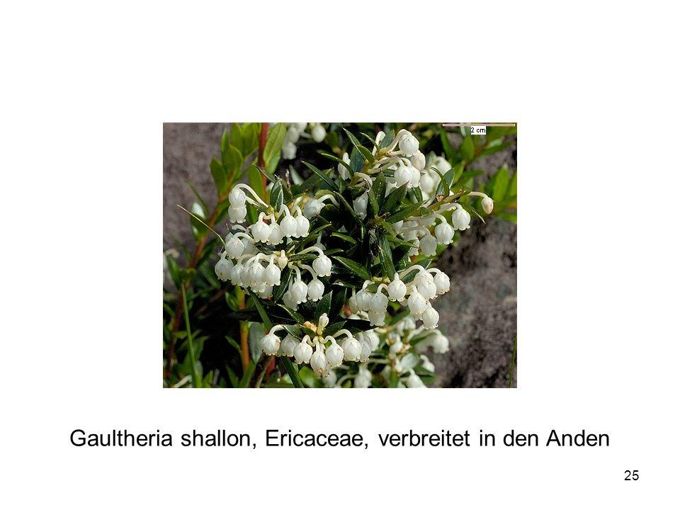 Gaultheria shallon, Ericaceae, verbreitet in den Anden