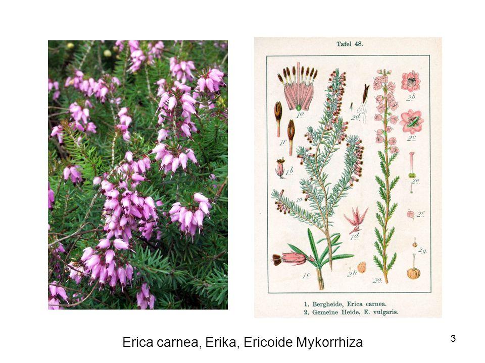 Erica carnea, Erika, Ericoide Mykorrhiza