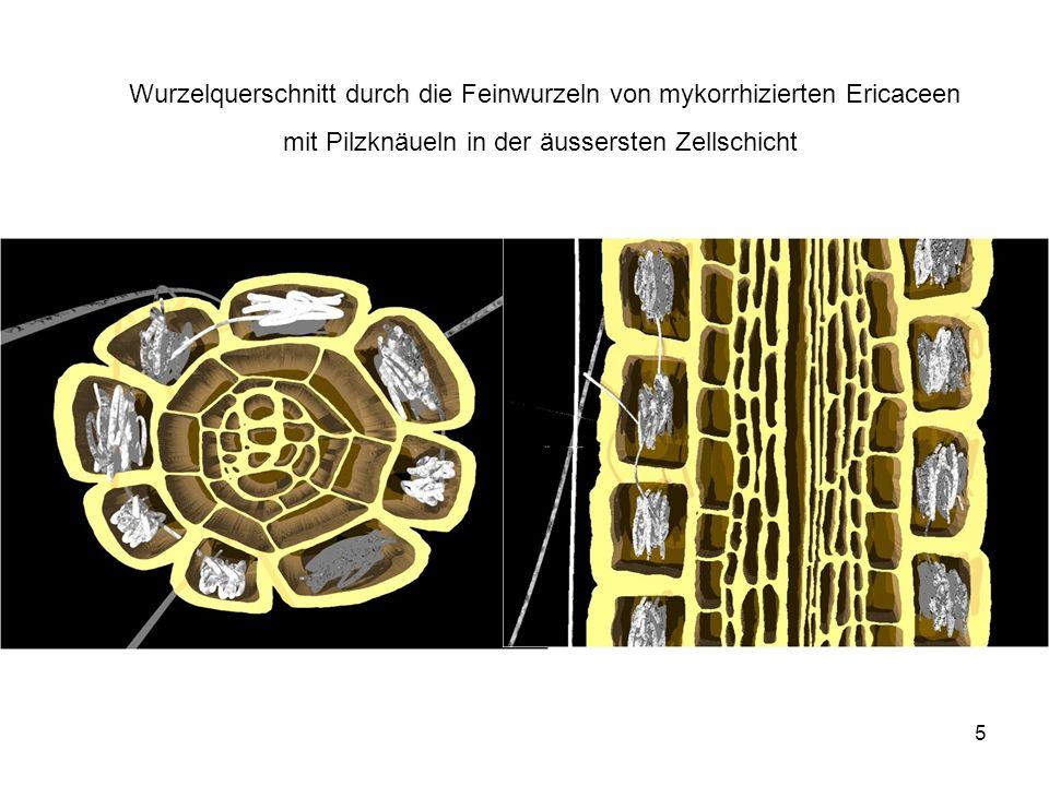 Wurzelquerschnitt durch die Feinwurzeln von mykorrhizierten Ericaceen