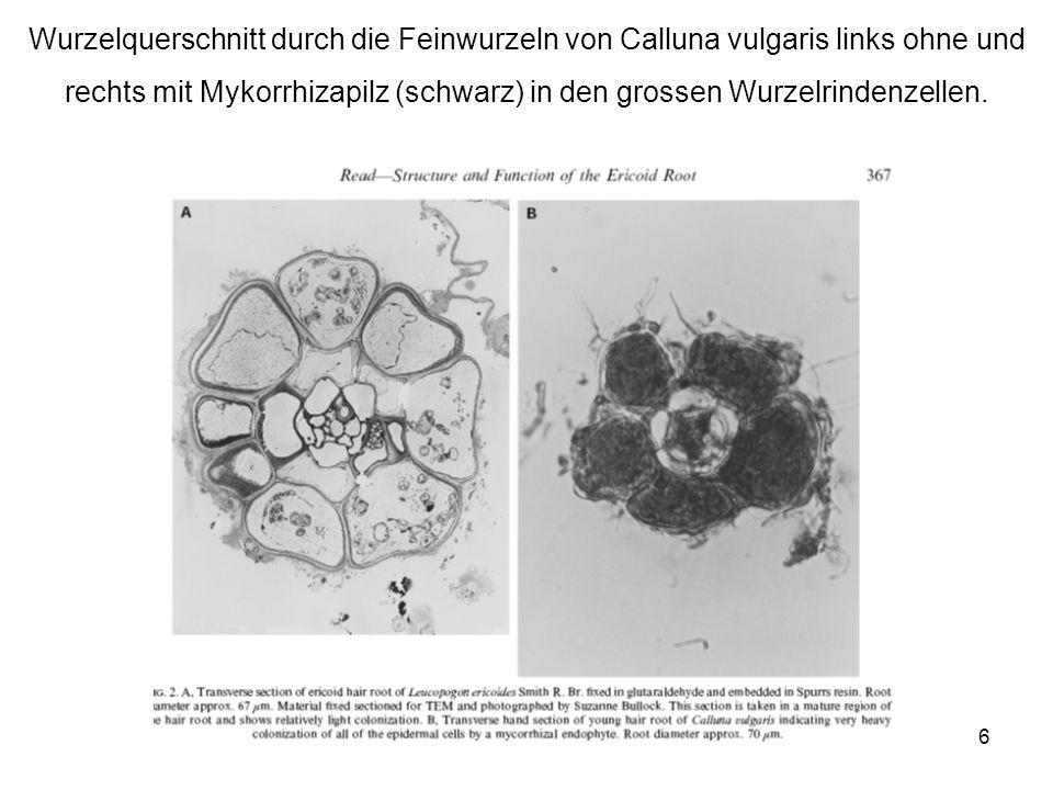 rechts mit Mykorrhizapilz (schwarz) in den grossen Wurzelrindenzellen.